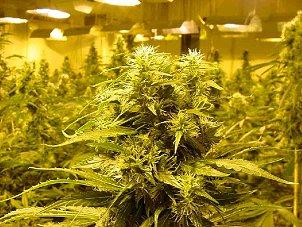 Dutch Cannabis Grow Room Visuals